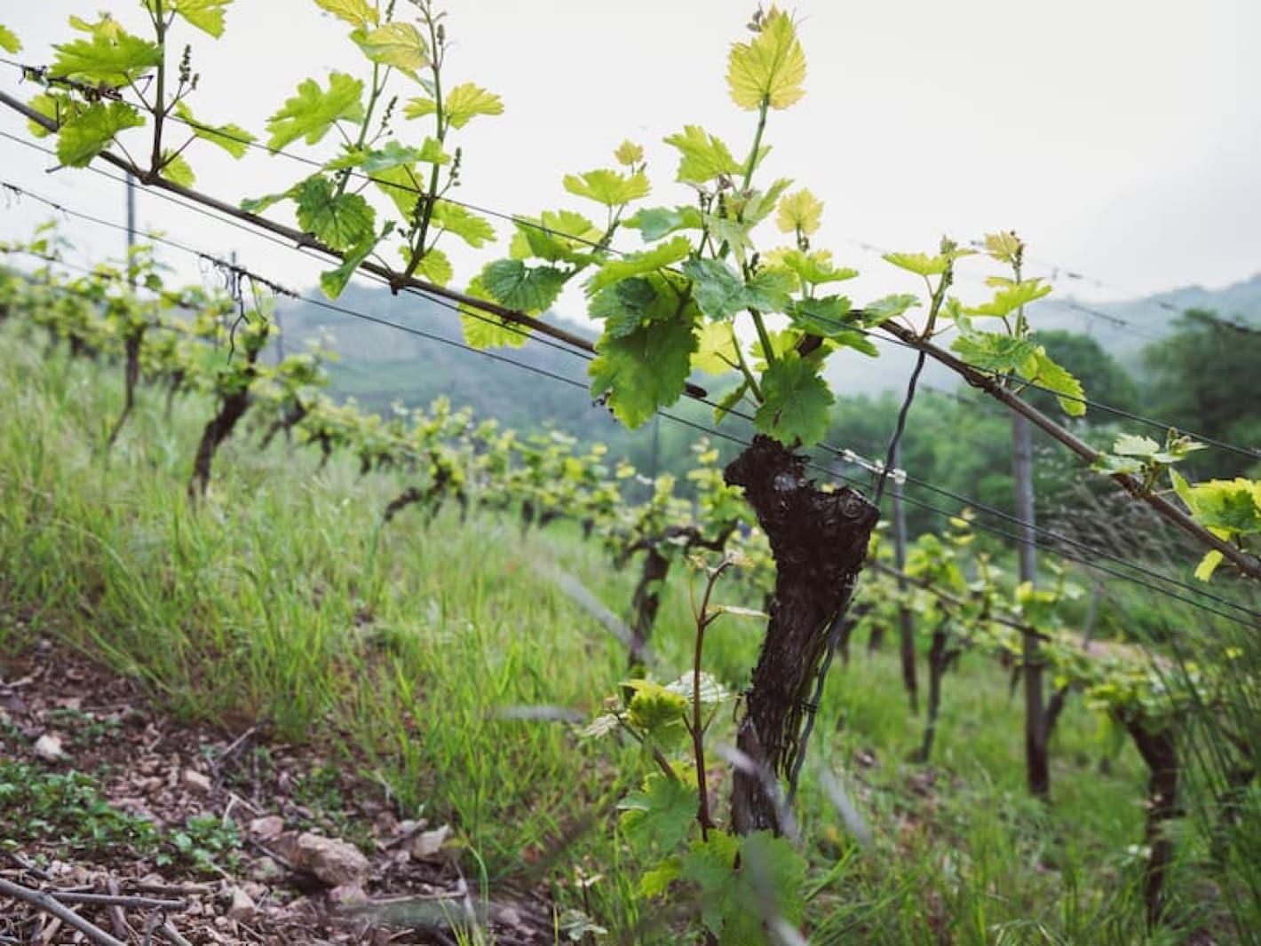 Weingut Pieroth
